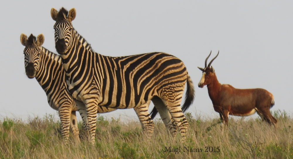 Six Months in South Africa: Reflections on Three Months in South Africa: Plains zebras (Equus quagga) and Blesbok (Damaliscus pygargus phillipsi) (© Magi Nams)