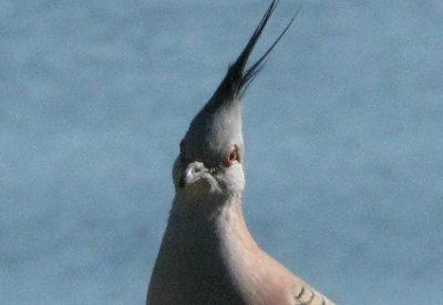 Australian Birds: Crested Pigeon (Ocyphaps lophotes) (©Vilis Nams)