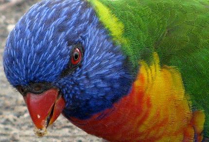 A Year in Australia: Early Naturalists Inspired This Blog: Rainbow Lorikeet (Trichoglosssus moluccanus), Queensland, Australia (© Magi Nams)