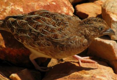 Love Your Planet: Help Fight the Feral Cat Crisis: Little Button-quail (©Vilis Nams)