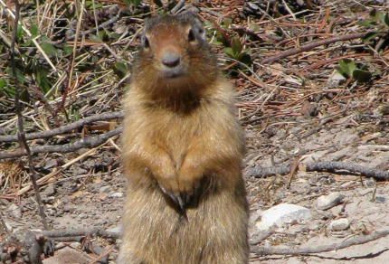 Canadian Mammals: Columbian Ground Squirrel (Urocitellus columbianus) in Banff National Park, Alberta (©Magi Nams)