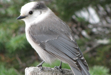 Canadian Birds: Grey Jay (Perisoreus canadensis) at Lake Louise, Banff National Park, Alberta ( © Vilis Nams)