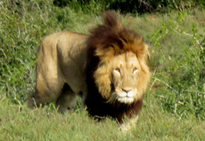 Six Months in South Africa: Exploring Addo Elephant National Park: African Lion (Panthera leo) (© Vilis Nams)