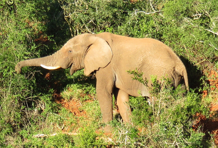 Six Months in South Africa: Notes from Addo Elephant National Park: African Elephant (Loxodonta africana) Feeding in Addo Elephant National Park (© Vilis Nams)