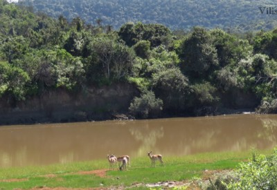 Six Months in South Africa: On Safari in Sibuya Game Reserve: Impala beside Bushmans River, Sibuya Game Reserve (© Vilis Nams)
