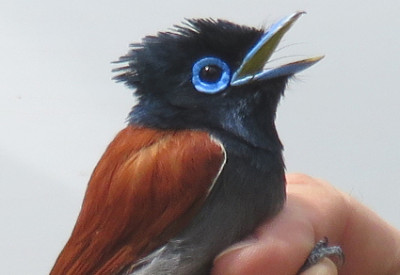 Six Months in South Africa: Spring Birding at Fort Fordyce Nature Reserve: African Paradise-flycatcher (Terpsiphone viridis) (© Magi Nams)
