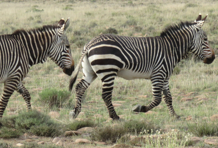 Six Months in South Africa: Mountain Zebra National Park: Cape Mountain Zebras (Equus zebra zebra) (© Vilis Nams)