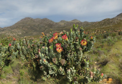 Six Months in South Africa: Swartberg Pass: Waboom Protea Veld (© Vilis Nams)