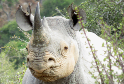 Six Months in South Africa: Great Fish River Reserve: Black Rhinoceros (Diceros bicornis) (© Vilis Nams)