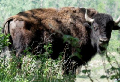 Hiking in Canada: Elk Island National Park, Alberta: Plains Bison (Bison bison) (© Magi Nams)