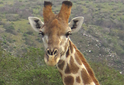 Six Months in South Africa: Hiking at Assegaai Trails: Giraffe (Giraffa camelopardalis) (© Magi Nams)